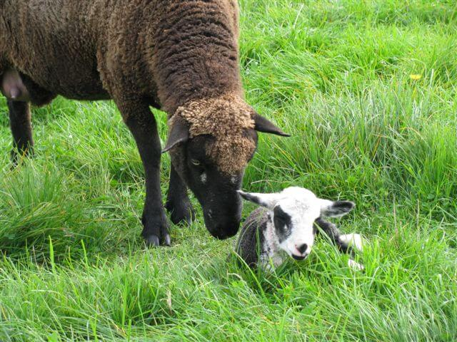 14.brown-sheep-and-lamb.jpg