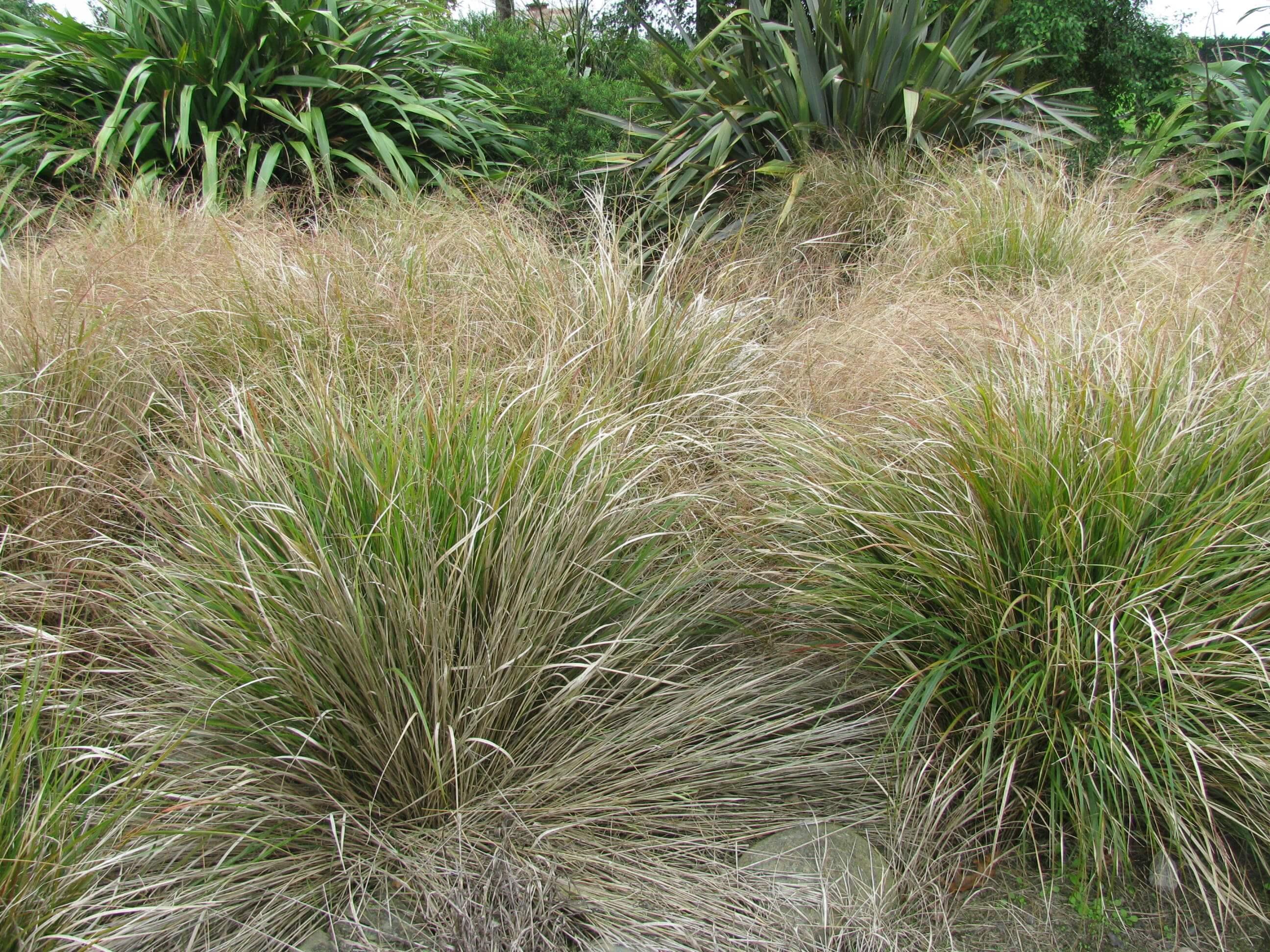 8.-carex-tussock-grass.jpg
