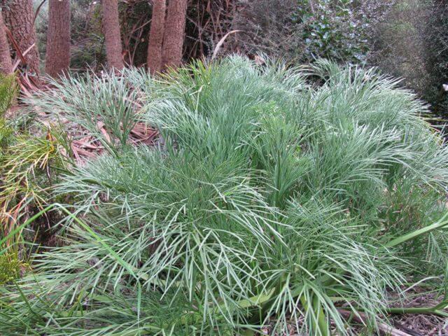 9.-chatham-island-aciphylla.jpg